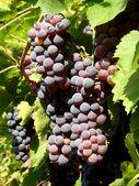 Grape — Stock fotografie