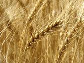 Pšeničné pole fragment — Stock fotografie