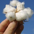 Hand with cotton boll — Stock Photo #3914966