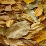 Walnut leaves — Stock Photo #3915067