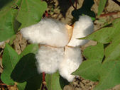 Cotton boll — Stock Photo
