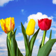 Red, yellow tulips, blue sky - Stock Photo