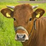 Portrait of a cow — Stock Photo