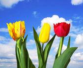 Red, yellow tulips, blue sky — Stock Photo