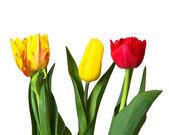 Rot, gelbe tulpen — Stockfoto