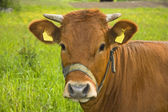 Portrait of a cow — Stock Photo