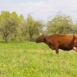 Cow on spring meadow — Stock Photo