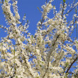 Stock Photo: Cherry tree flowers