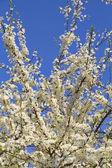 Cherry tree flowers — Stock Photo