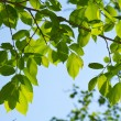 Stock Photo: Young leaves, backlight
