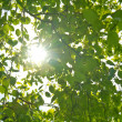 Stock Photo: Sun through the leaves