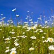 Stock Photo: Daisies in the field