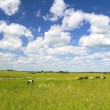 Rural landscape with cows — Stock Photo