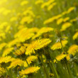 Dandelion field — Stock Photo #3285455