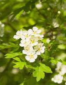 Cherry tree flowers — Stockfoto