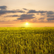 Sunset on the wheat field — Stockfoto