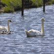 Swans and cygnet — Stock Photo #3542150