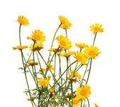 Yellow daisies, isolated — Stock Photo
