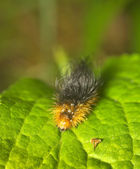 Caterpillar on green leaf — Stock Photo