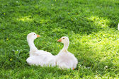 Young geese — Stock Photo