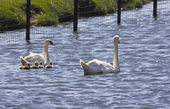 Swans and cygnet — Stock Photo