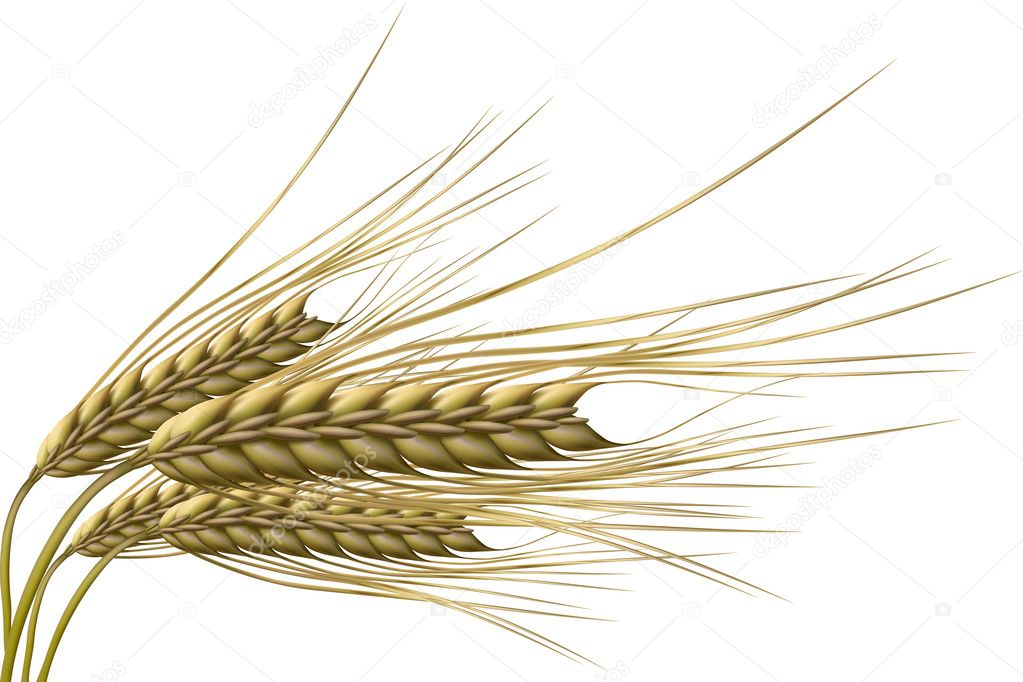 Illustration of wheat grain on isolated background — Stock Photo #4165028