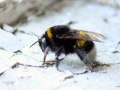 Bumblebee. — Stock Photo
