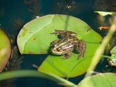 Frog. Waterlily. — Stock fotografie