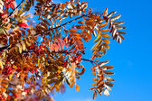 Golden fall ashberry — Stock Photo