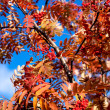 Stock Photo: Golden fall ashberry
