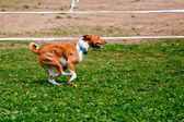 Running Basenji — Stock Photo
