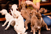 Playing saluki pups — Stock Photo