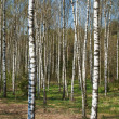Birch grove - Stock fotografie