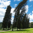 Crooked Cook Pines (Araucaria columnaris) — Stock Photo