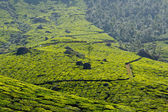 Tea plantations — Stock fotografie