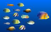 Concepto de liderazgo - pez principal escuela de peces tropicales — Foto de Stock