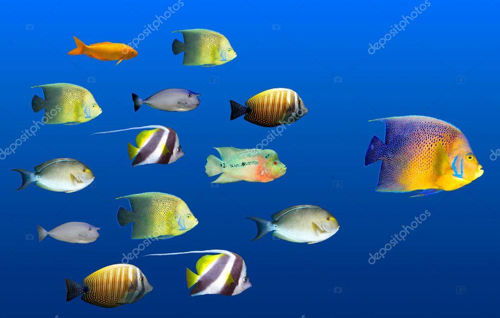 Concepto de liderazgo pez principal escuela de peces - Peces tropicales fotos ...