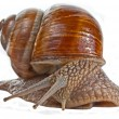 Grape snail — Stock Photo