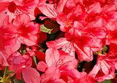 Azalia flowers background — Stock Photo