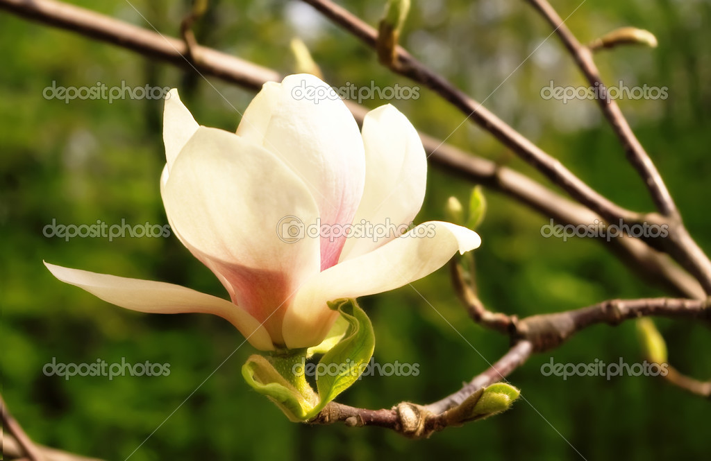 Kuche In Weib Oder Magnolia : Blossoming of magnolia ...