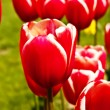 Stock Photo: Beautiful tulips