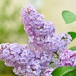 Branch of lilac flowers - Stock Photo