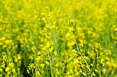 Rapeseed lflowers — Stock Photo