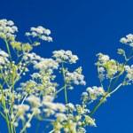 Apiaceae (Umbelliferae). — Stock Photo