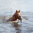 Horse sails in river — Stock Photo
