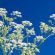 Apiaceae (Umbelliferae). — Stock Photo #2812124