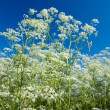 Apiaceae (Umbelliferae). — Stock Photo #2812134