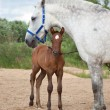 Foal with ma — Stock Photo