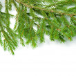 Green fir branches .close up - Stock Photo