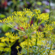 Stock Photo: Flower of dill
